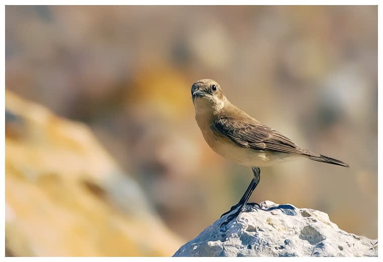 Female Black-eared Wheatear